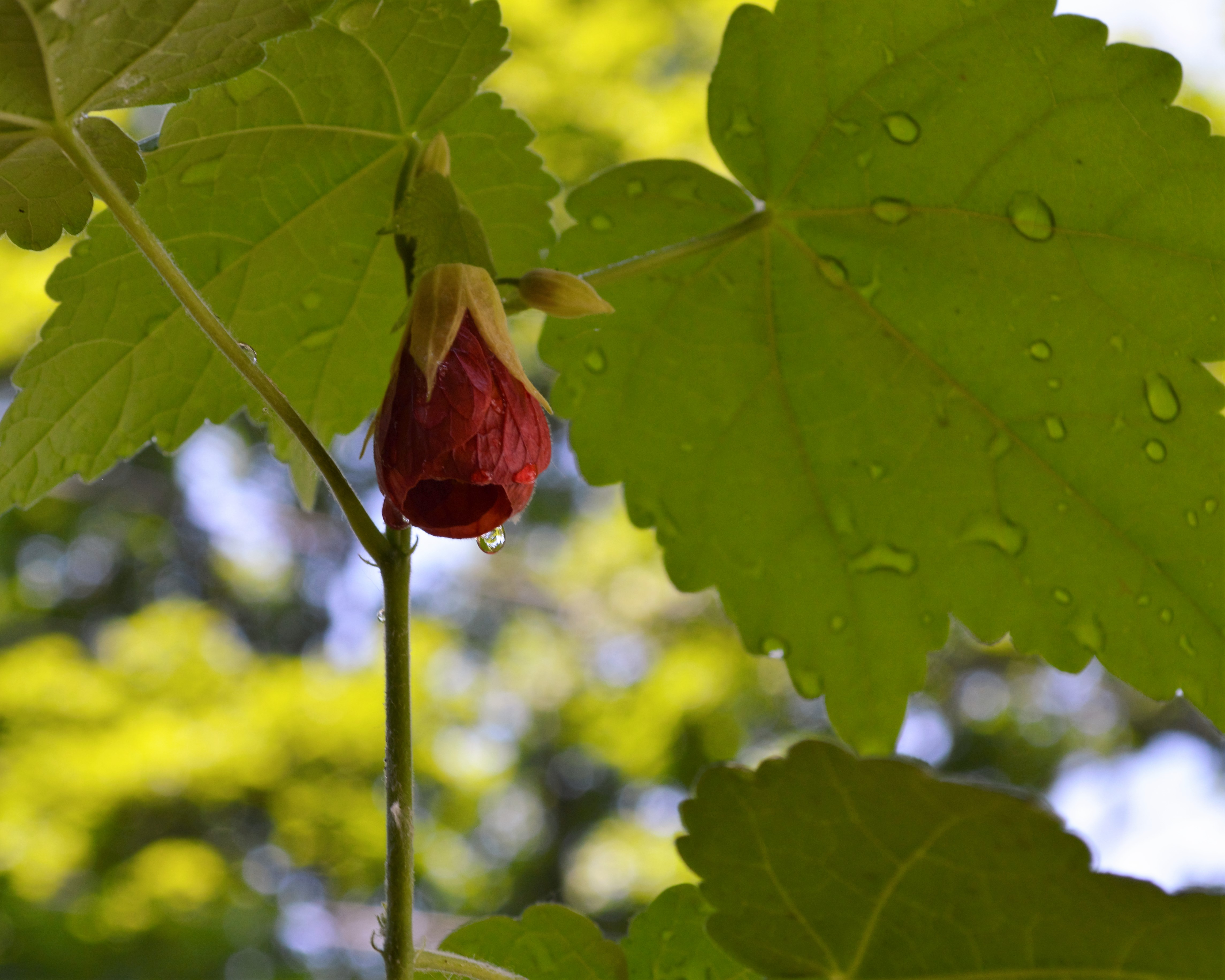 Abutilon (Flowering Maple) after the rain, Ithaca, New York